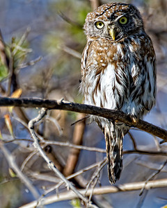 A pearl spotted owl on the river bank.
