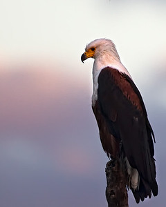 African fish eagle silhouetted against the setting sun's pink light on the clouds