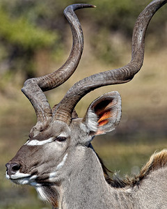 Male kudu showing off his horns