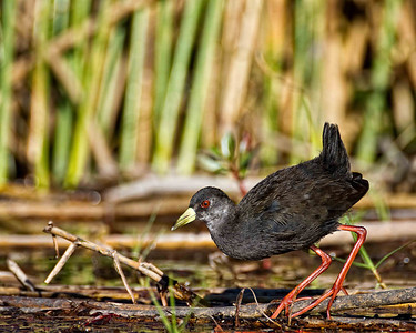 Black Crake, a small wading bird among the reeds