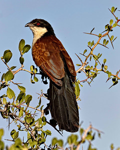 The black coucal is a large bird that eats marsh creatures