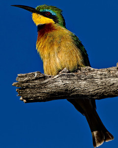 Little green bee eater.