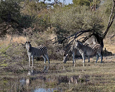 Zebras drinking from the marsh at Mombo camp Botswana
