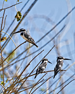 Pied kingfishers watching the water.