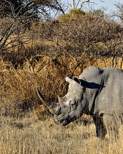 Okay, so I'm a white rhino and I have a big horn.  But I just graze on the grass, so please keep the poachers out of my africa.