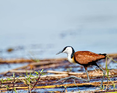 Jacana.  With those big feet he really does seem to walk on water.
