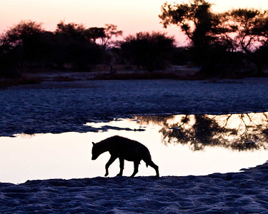 A hyena moves slowly in the early morning cold silhouetted by the sunrise after a quick drink