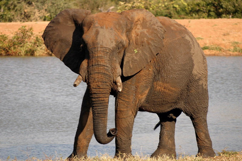 This Elephant stopped quite close to the vehicle for some time before moving on. I like the different shades of brown and the mopane leaf stuck to his ear.