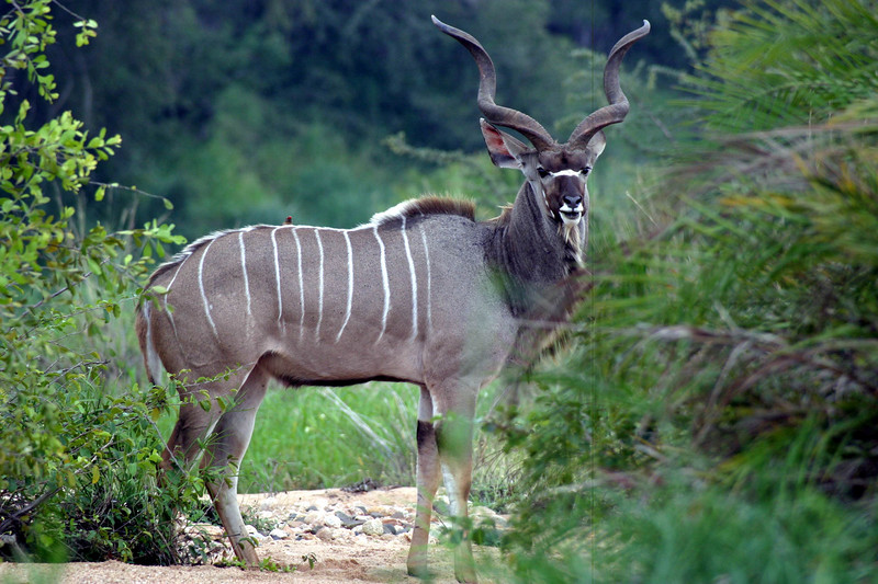 The noble male Kudu. At full growth they develop 3 turns of the horns, so he's got some way to go.