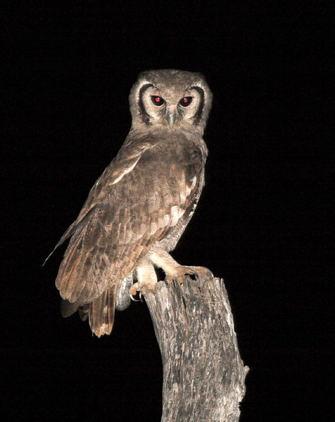 Giant Eagle Owl.