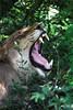 One of many yawns.