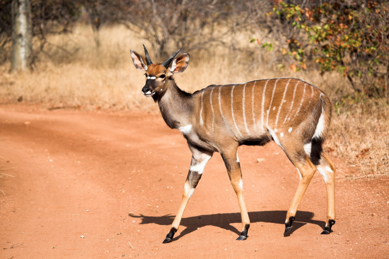 Young male Nyala early one morning