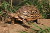 Leopard Tortoise. Yes, I picked him up and got him to pose!