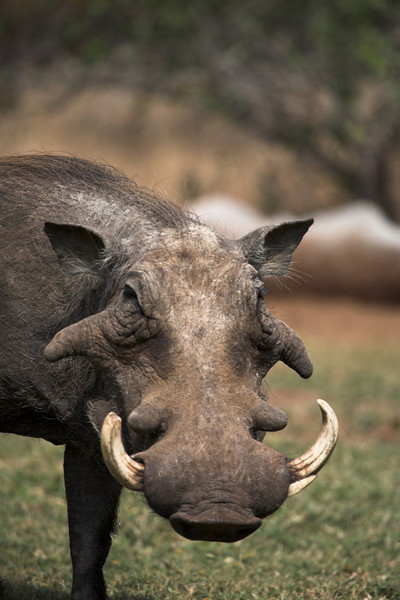 This massive Warthog was feeding in the grounds next to the office. Very confident and unperterbed by people.
