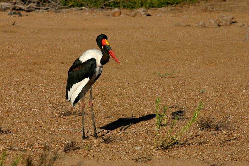 A Saddle Billed Stork. Endangered.