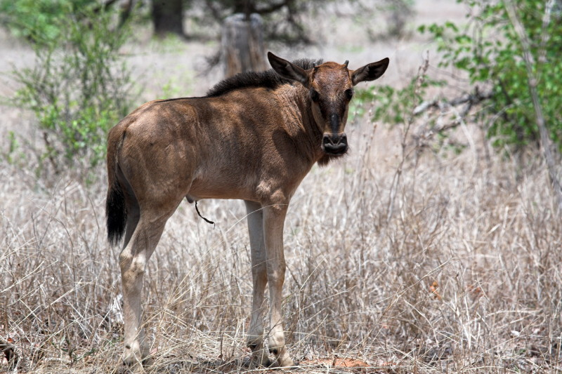 Newly born Wildebeest. Notice the umbilical chord?