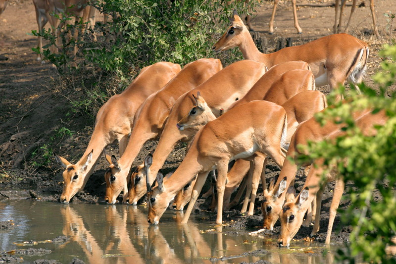 Impalas at Elephant hide