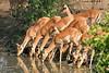 Impalas at Elephant hide