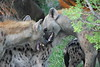 Fun and games at a Hyaena den.