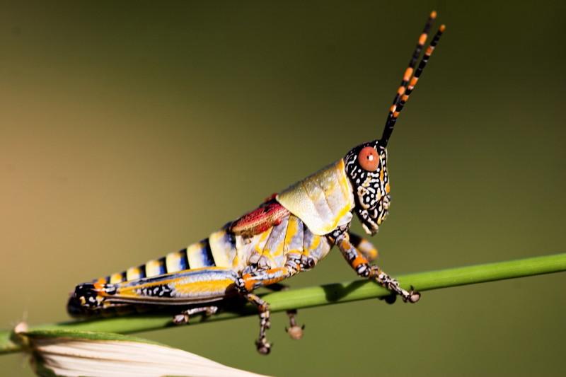 Technicolour Grasshopper. I took this with a 100m macro lens. Nice!