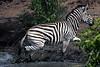 Zebra at Elephant hide