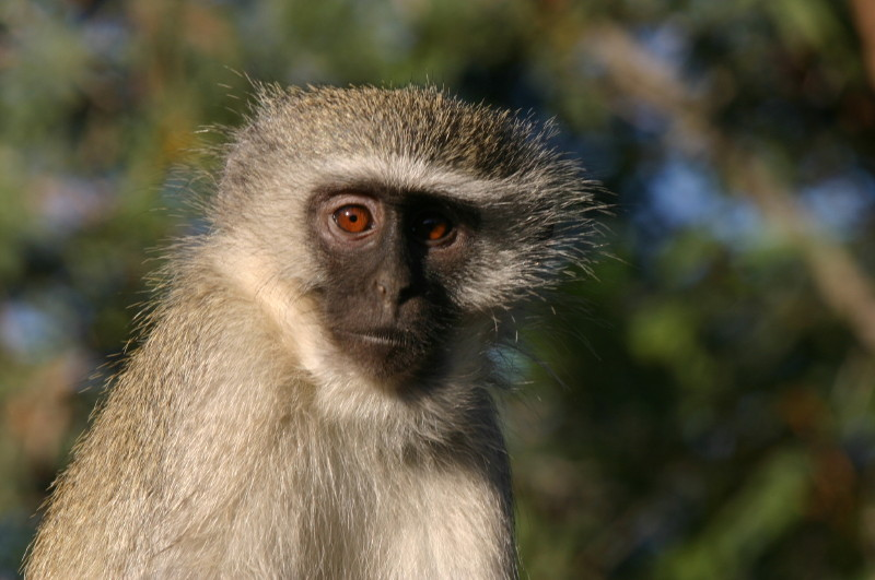 Vervet Monkey @ Number 6