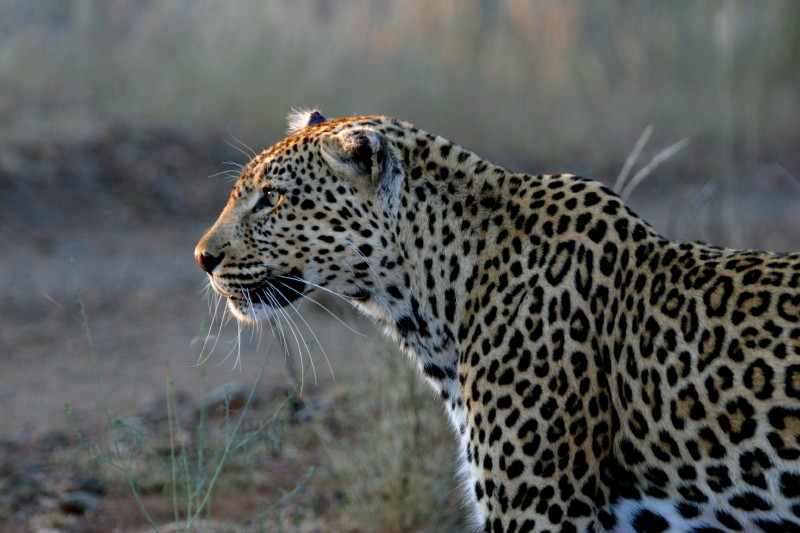 Same Leopard, nice light on his face.