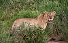 Lioness amongst riverbed reeds