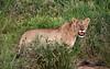Lioness amongst riverbed reeds