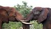Hello Friend! Two Bull Elephants greet each other at a mud bath.