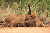 Teamwork. The one Lioness holds the carcass taut so the others can feed.