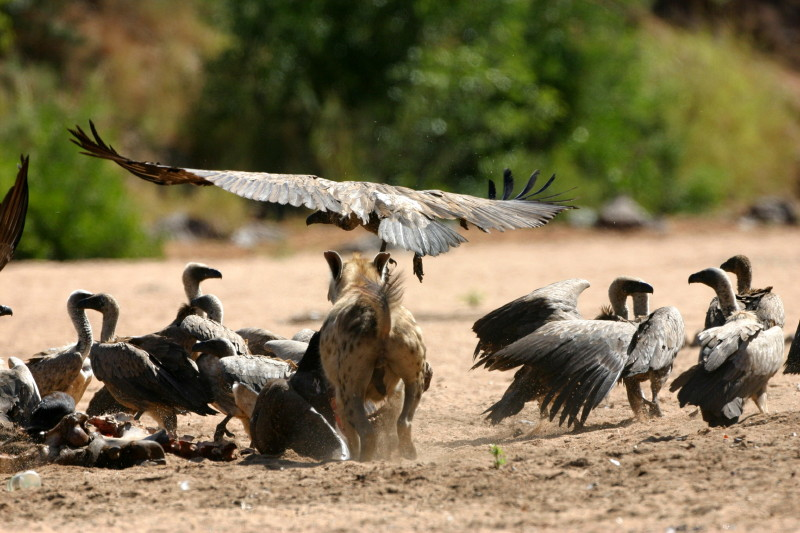 Patience wearing thin, a Hyaena dashes at the vultures