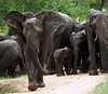 Part of a massive herd that had a full on mud bath at Elephant hide