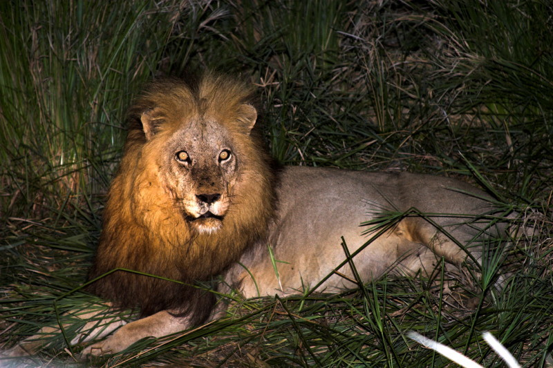 The rogue Lion that chased the pride off the Giraffe kill.