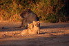 Two of the nine Cubs that were born in May 2005. Lovely lighting.