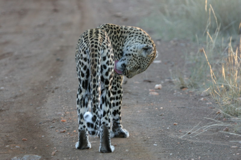 We followed this young Leopard for about 10 mins as he sprayed his territory. He was very cool.