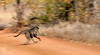 There was a skittish bunch of Baboons making a dash for it. I thought I'd try my panning skills! This one paid off.....I didn't realise she had the baby tucked in there until I developed the shot.
