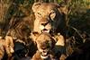 Mother & Cub at Giraffe kill.