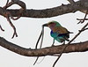 Lilac Breated Roller with worm