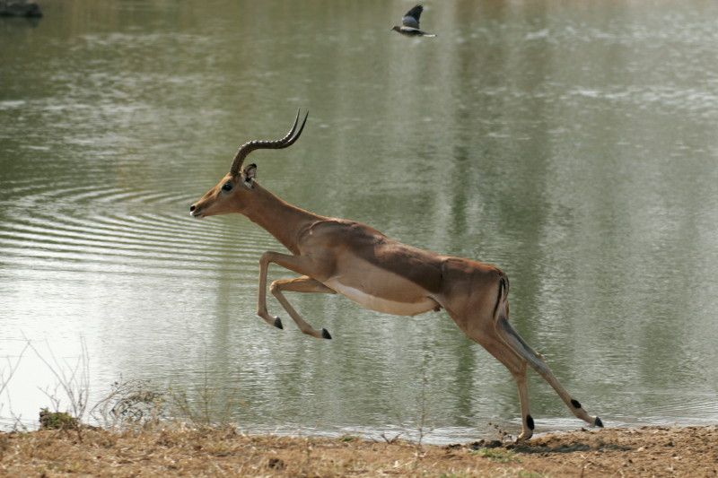 Impala taking flight