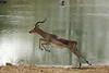 Impala taking flight