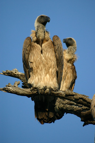 White Backed Vultures against a very blue sky.