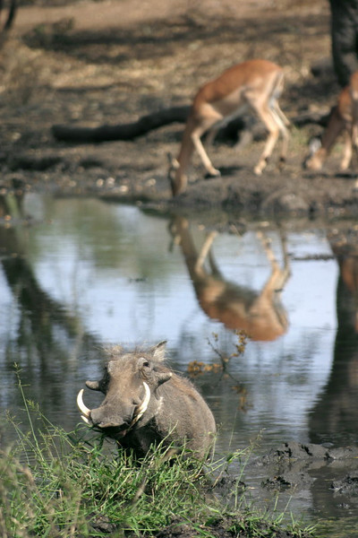 Warthog and Impala at Elephant hide. I like the reflection of the Impala.