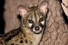 The latest edition of the 3 Genets that have made our house their home!