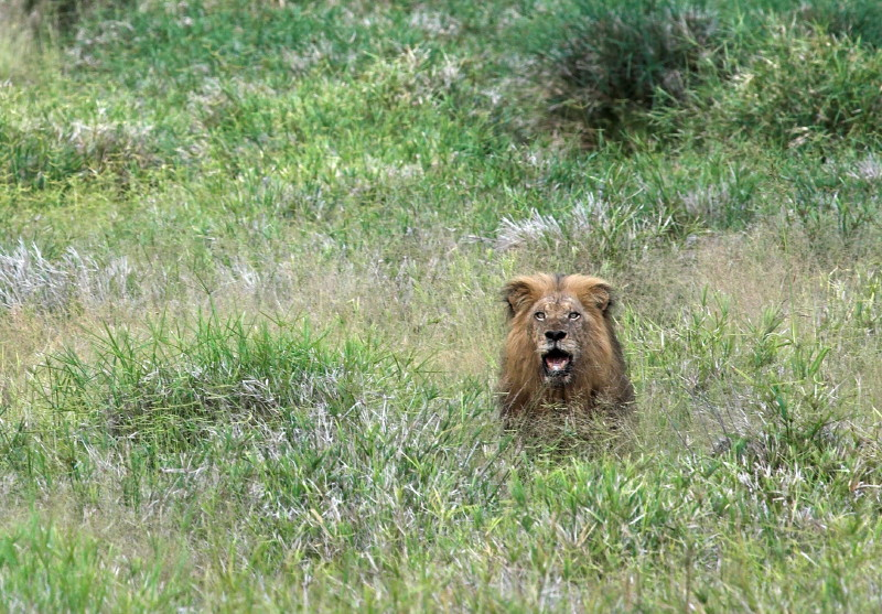 The Lion in the Nharalumi river bed.