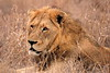 Sadly this Lion died of suspected TB.