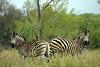 Zebras - cheek to cheek.