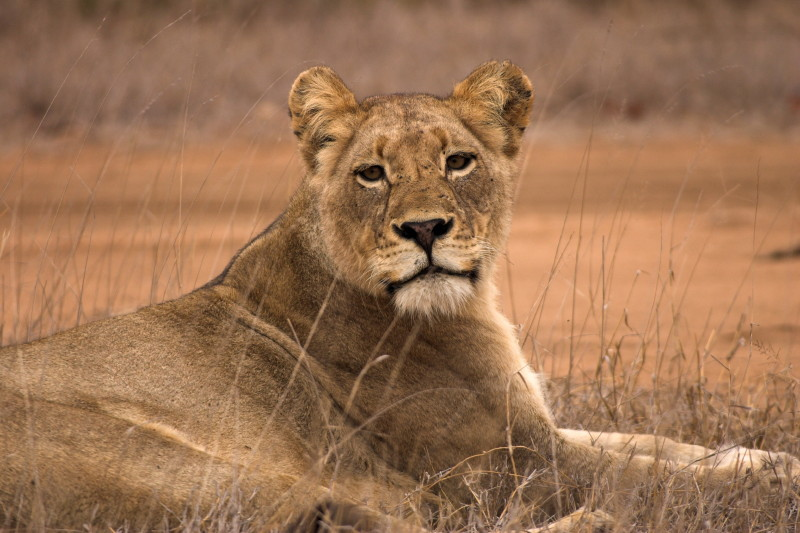 I sat only 15 ft from this Lioness for over half an hour as she called for the male in the previous slide. The sound of a lion calling so close is something you never forget.