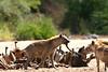 Hyaene grabs the Buffalo tail.