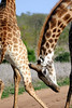 "We watched these two Giraffes ""necking"" for a long time. It was quite serious and you could hear thud of horn on hide."
